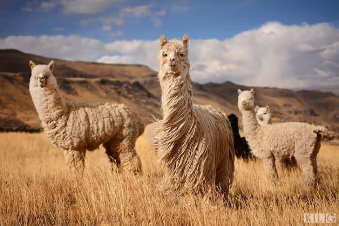 Huacaya and Suri Alpacas