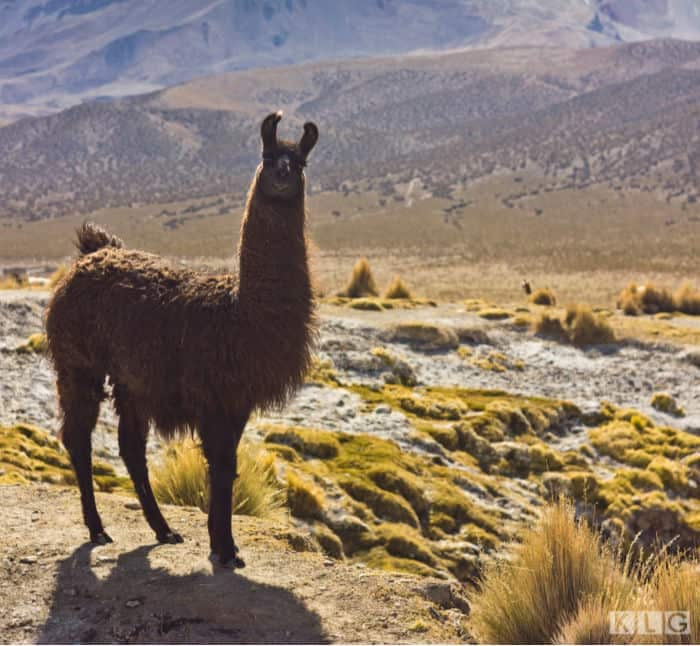 A Llama, see his pointy curved ears